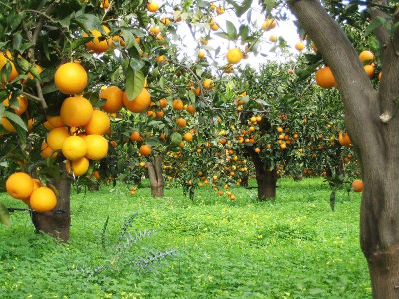 Апельсиновая роща — достопримечательности Кемера