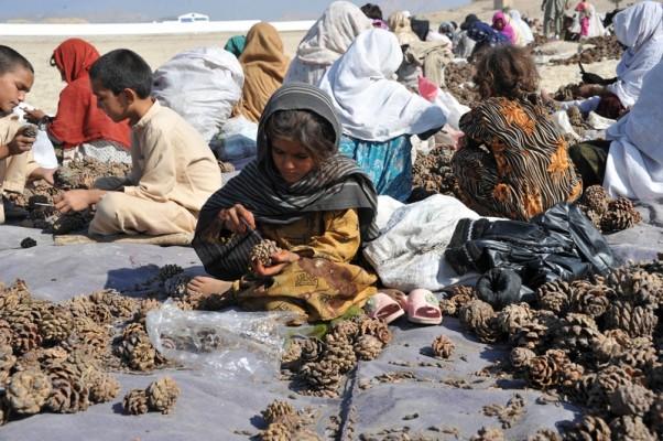 AFGHANISTAN-ECONOMY-PINENUTS